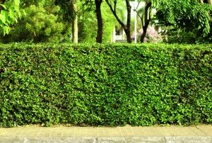 hedge or living fence
