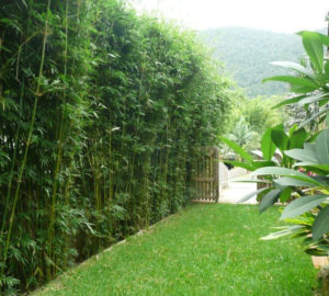 Living Privacy Fence Bamboo Hedge