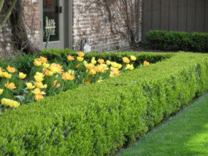 Living Privacy Fence Boxwood Hedge