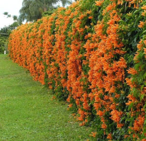 Living Privacy Fence Flame Vine Hedge