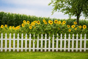 Living Privacy Fence Sunflowers