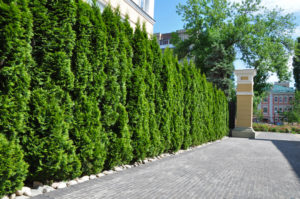 Living Privacy Fence Thuja Trees